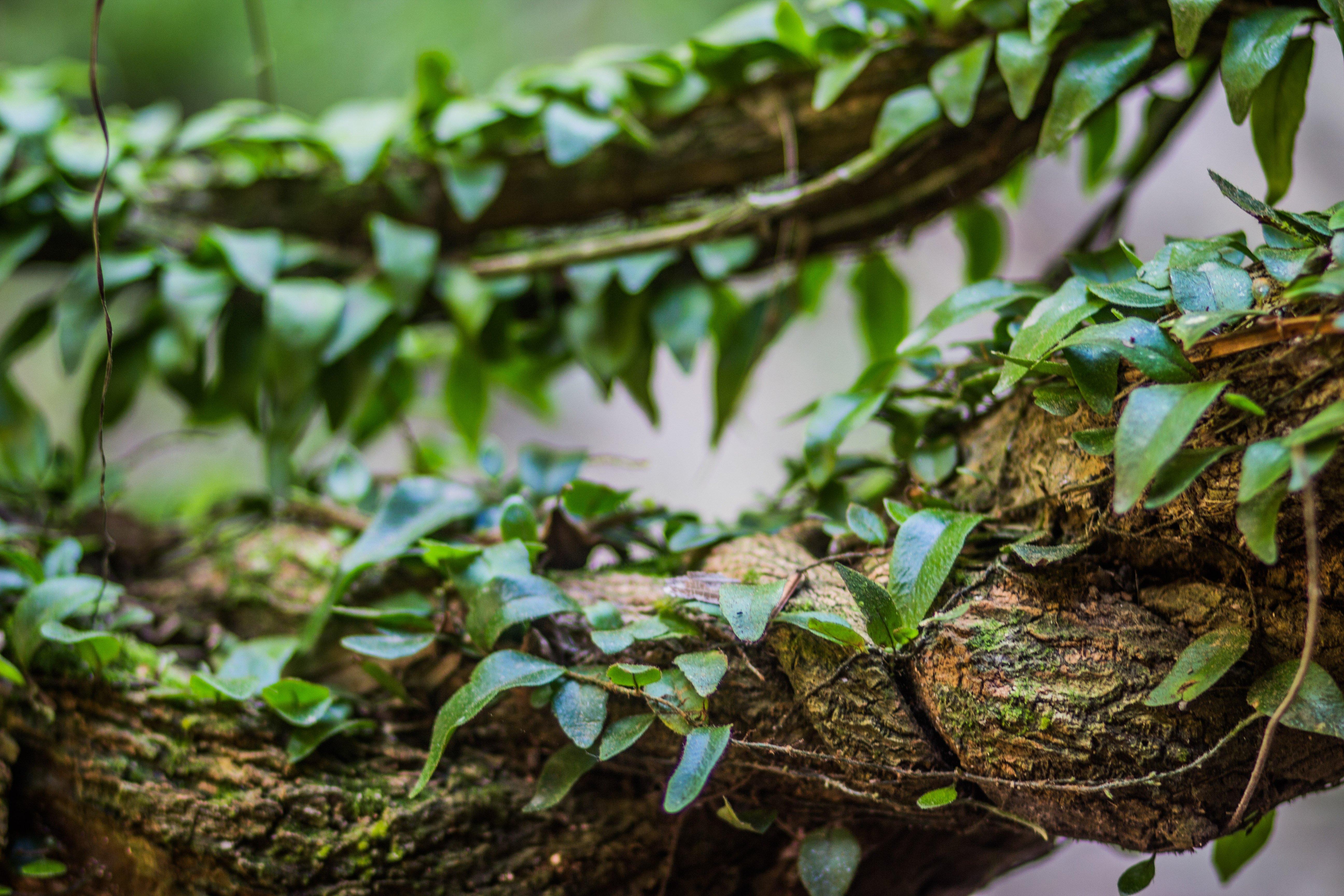 vine of ayahuasca plant